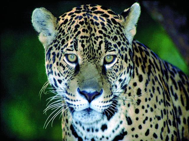 brasilien pantanal mutum boot jaguar