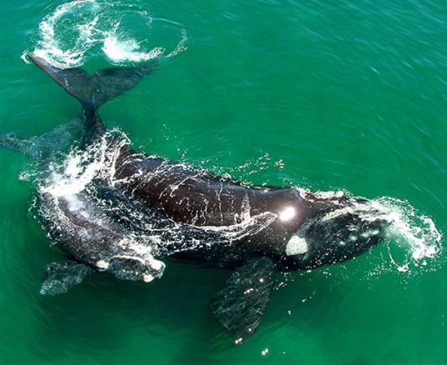 ORCA PENINSULA VALDES