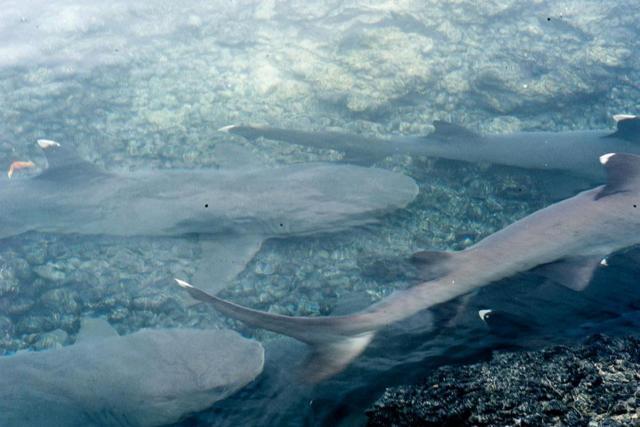 HAIE SHARK CANAL
