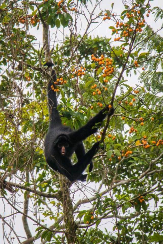 affe amazonas